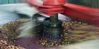 Trituración olivas